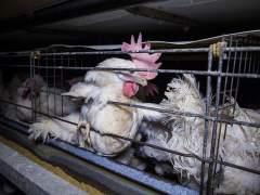 Lidl, primera cadena que no deja de vender huevos de gallinas enjauladas
