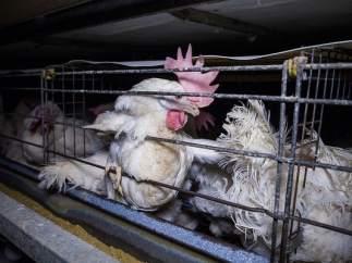 Granja de gallinas en jaulas.