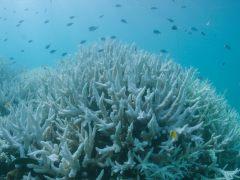 Blanqueo masivo en la Gran Barrera de Arrecifes