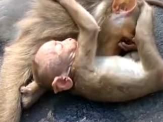 Bebé mono llorando