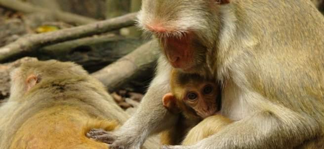 Monos rhesus