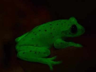 Anfibio fluorescente