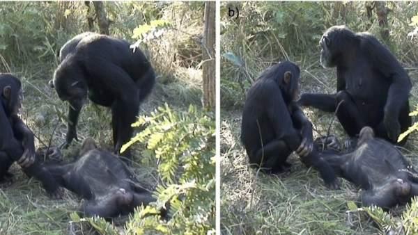Ritual mortuorio en chimpancés