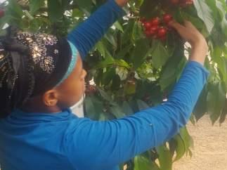 Inicio de la recogida de cereza en Almacelles