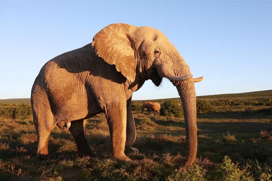 Muere el último elefante africano en cautividad de Australia ...