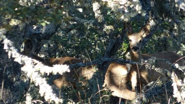 Corzos, madre y cría de corzo en el monte