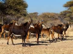 Las grandes subastas de animales salvajes en Sudáfrica