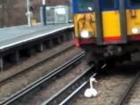 Un cisne colapsa la vía de tren