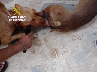 Un caso sobre pornografía infantil destapa una red de peleas ilegales de perros en Málaga