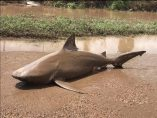 Tiburón muerto en medio de una carretera