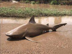 Aparece un tiburón muerto tras el paso de las inundaciones en Australia