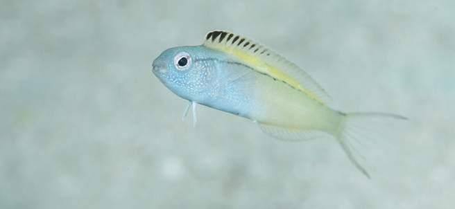 El pez Nigrolineatus de Meiacanthus