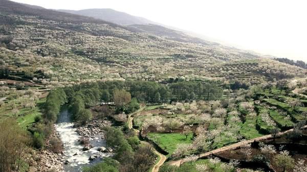 Rebollar ser epicentro del cerezo en flor este fin de for Oficina de turismo valle del jerte
