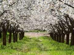 Cerezos en el Valle de Caderechas
