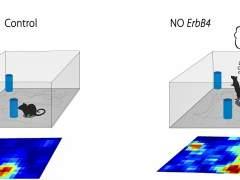 Descubren un mecanismo neuronal clave para la orientación espacial