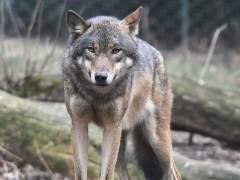 El Pleno de la Asamblea de Madrid debatirá sobre prevenir el ataque del lobo en ganaderías