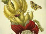 'Banane - Blüte und Fruchtstand', 1705