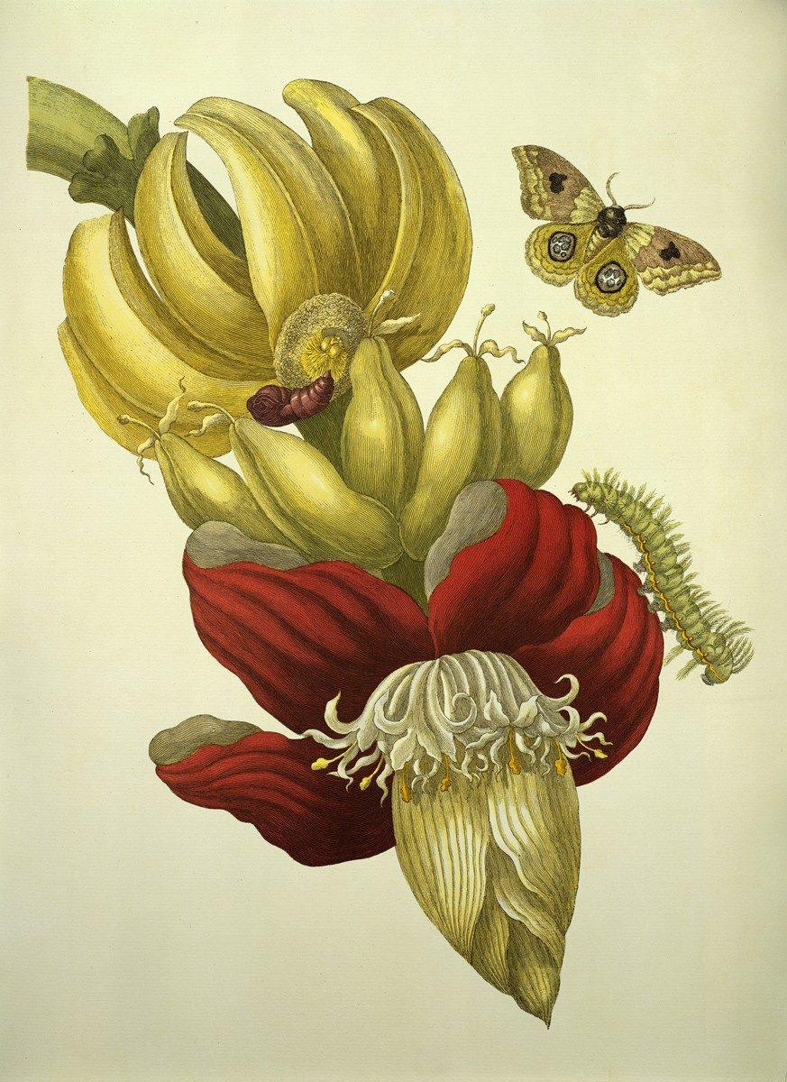 'Banane - Blüte und Fruchtstand', 1705. 'Banana. Flor e infrutescencia', grabado de Merian de 1705 extraido de su libro 'Metamorfosis de los insectos de Surinam'