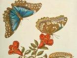 'Granatapfel und Schmetterlinge', 1705