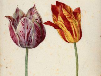 'Zwei Tulpen', 1630