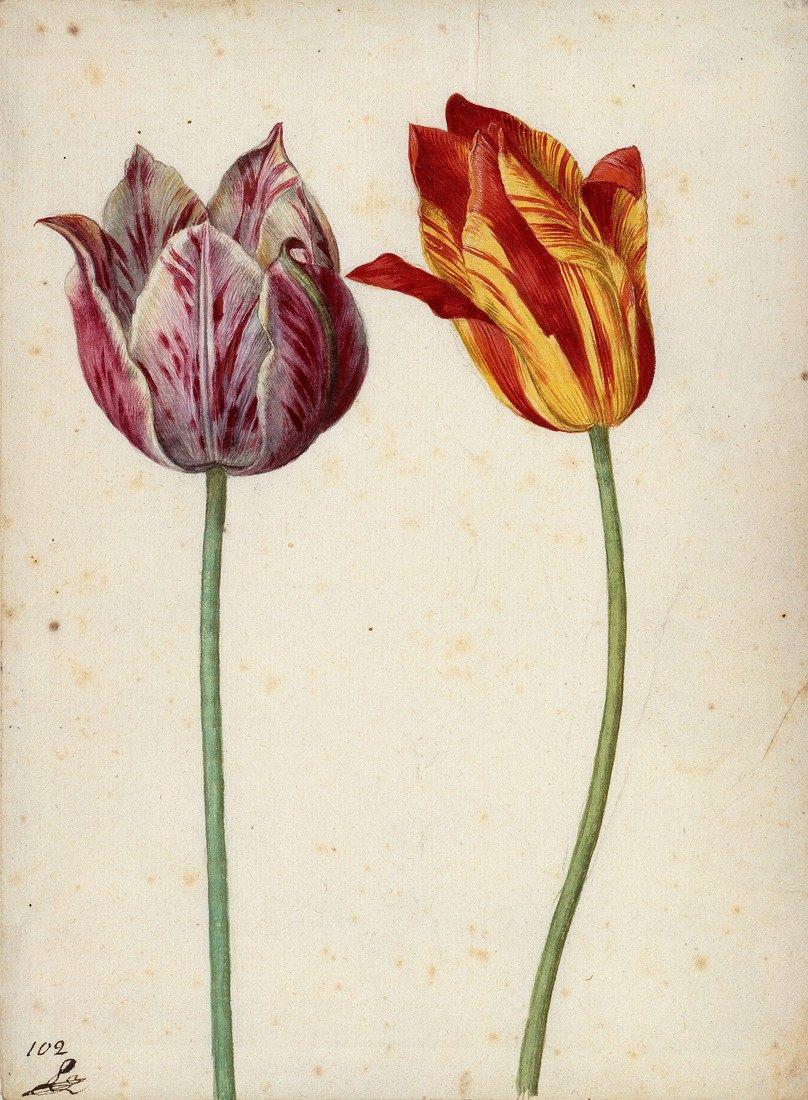 'Zwei Tulpen', 1630. 'Dos tulipanes' (1630), acuarela de Georg Flegel, profesor de Jacob Marrel —el padrastro de Maria Sibylla Merian— e inspiración clara para la artista alemana