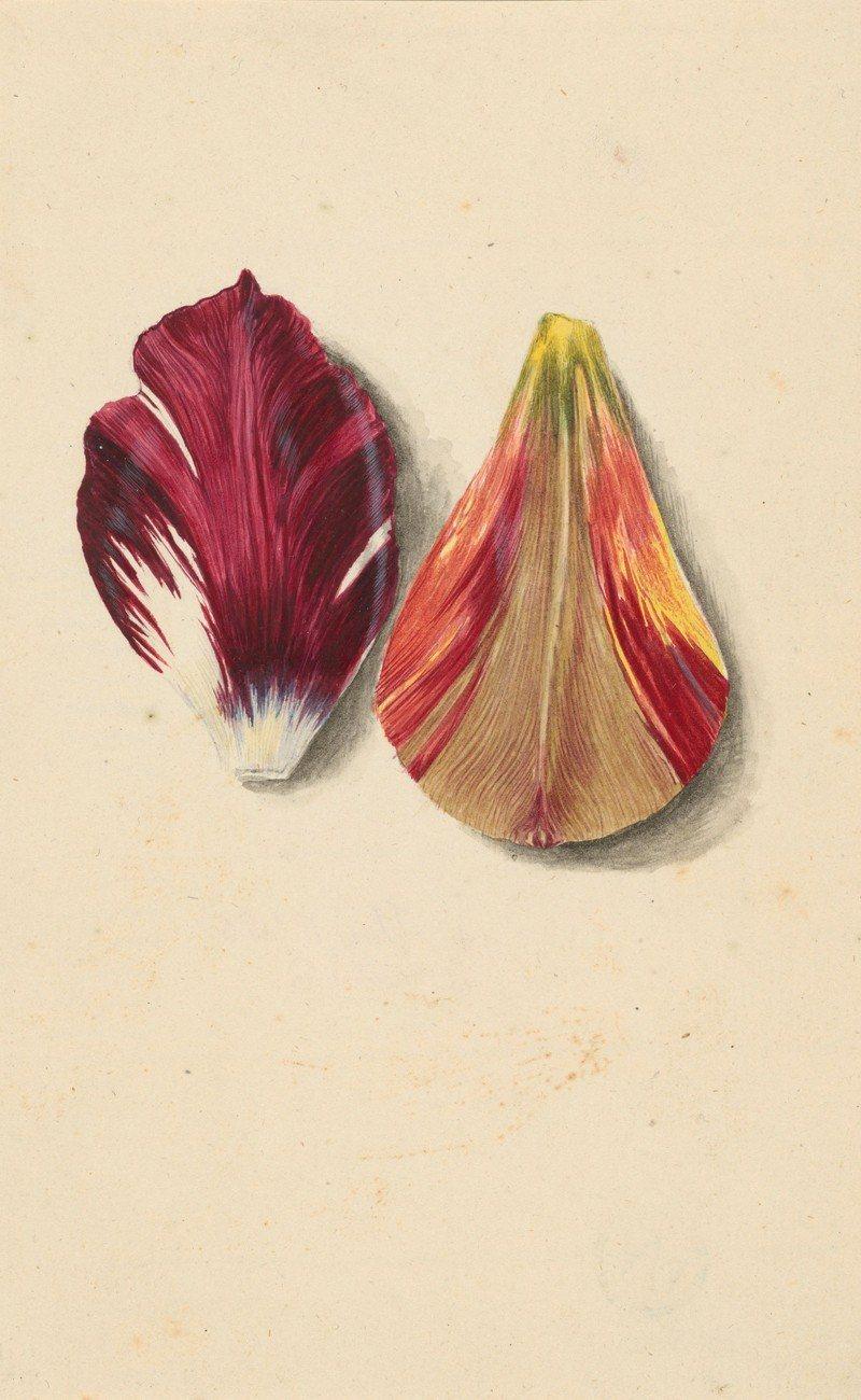 'Einzelne Tulpenblätter'. Pétalos de tulipán de la alemana Maria Sibylla Merian(1647-1717), una de las más significativas creadoras vinculadas a la investigación de la naturaleza en los siglos XVI y XVIII.