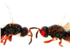 Crean avispas mutantes con ojos rojos
