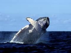 Los choques de ballenas y barcos son más habituales de lo que se pensaba