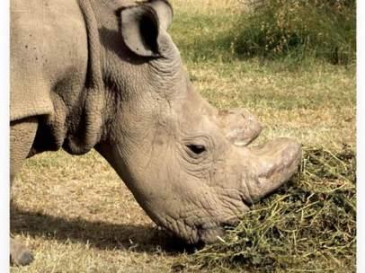 El último rinoceronte blanco busca pareja en Tinder para salvar su especie