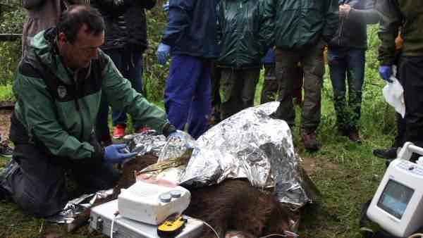 Investigadors de la UAB injecten la vacuna anticonceptiva al primer senglar del Vallès.