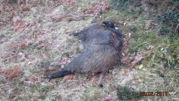 Jabalí del cebadero paar lobos denunciado por Fapas.