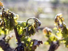 Las heladas de hasta -5 ºC amenazan toda las cosechas del norte de España