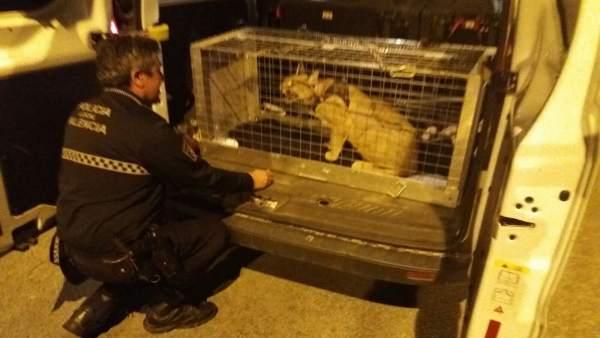 El animal ha sido entregado al centro de Primadomus en Villena (Alicante)