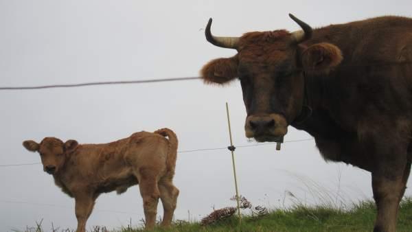 Vacas, asturiana de los valles
