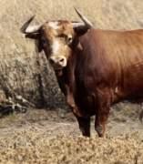 Toro de lidia en el campo