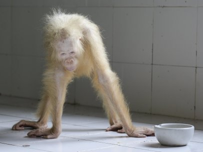 Orangután albino