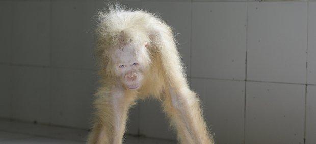 Alba, la primera orangután albina conocida, ha sido liberada en la selva de Indonesia