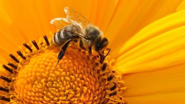 Abejas jóvenes panel miel