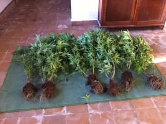 Plantas De Cannabis Interceptadas En Lugo