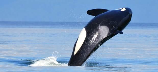 Una orca carga a su cría muerta durante 17 días en señal de duelo