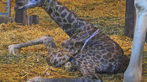 Nueva jirafa en Bioparc