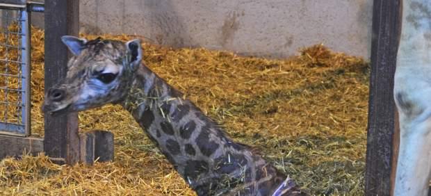 Naix en el Bioparc una nova girafa d'una subespècie en perill d'extinció