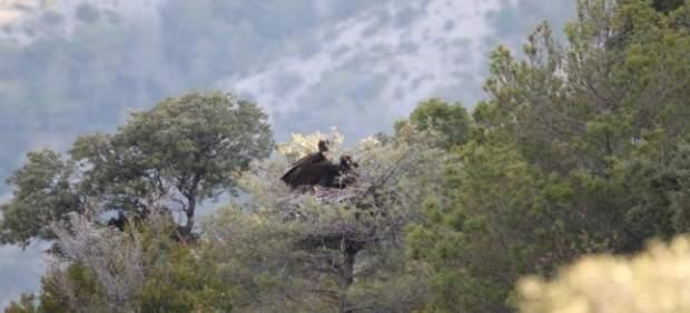 Buitre negro pirenaico