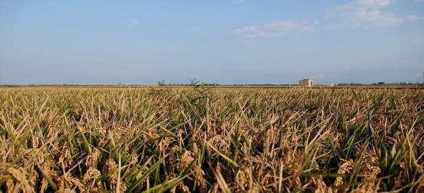 Campo de arroz en Valencia