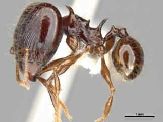 Las hormigas espinosas