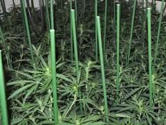 12 detenidos por ocultar 135.400 plantas marihuana en Canovelles