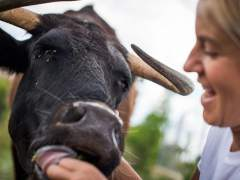 160.000 firmas para que la vaca de lidia Margarita no sea sacrificada en Tortosa