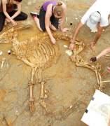 Bóvido desenterrado en el Camp dels Ninots