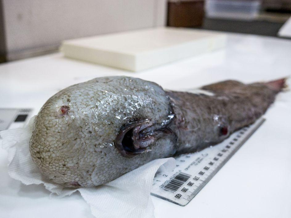 Pez sin rostro. Un pez sin rostro descubierto por científicos australianos que estudian un enorme abismo de mar profundo, en la costa de Nueva Gales del Sur (Australia).