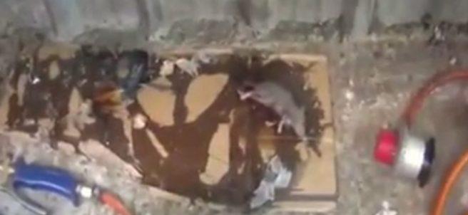 Ratas en descomposición